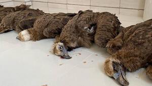 Vahşet Zehirli etlerden yiyen nesli tehlike altındaki 7 kara akbaba ölü bulundu