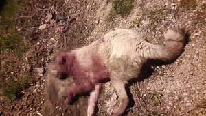 Mersinde 2 çoban köpeği, av tüfeğiyle vurularak öldürüldü