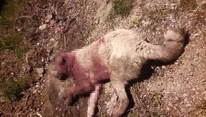 Mersinde çoban köpekleri, av tüfeğiyle vurulmuş halde bulundu