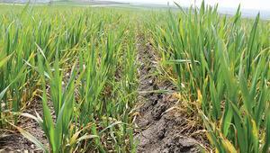 Edirne'de buğdayı zirai don vurdu
