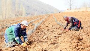 Develi Belediyesi, 15 bin lavanta fidesini toprakla buluşturdu