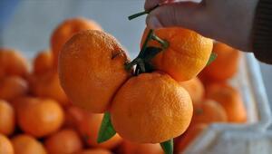 Narenciye ihracatında yılın ilk çeyreğinde mandalina ve limon öne çıktı