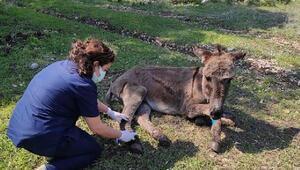 Hayvanseverler ormana terk edilen eşeğin hayata tutunmasını sağladı