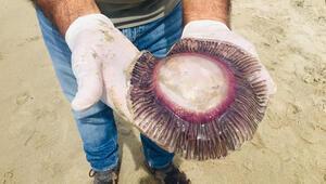 Son Dakika: Kuşadasında ölü mor denizanaları kıyıya vurdu Çok önemli uyarı