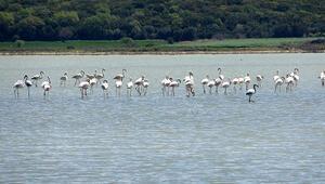 Çanakkalede göç eden flamingolar görüntülendi