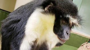 """Dünyanın en yaşlı """"Diana maymunu"""" öldü"""