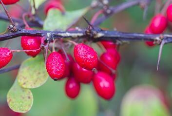 Karamuk Meyvesi Nedir, Ne İşe Yarar, Nasıl Tüketilir? İşte Karamuk Meyvesi Faydaları