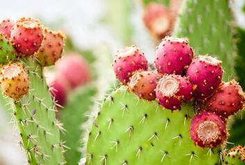 Kaktüs Meyvesi (Frenk İnciri) Nedir, Nasıl Tüketilir?