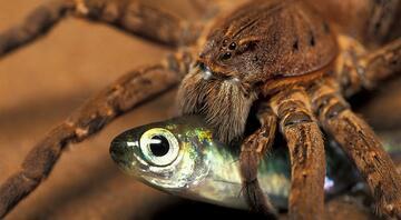 Avustralyada yeni bir tür: Balık yiyen örümcek