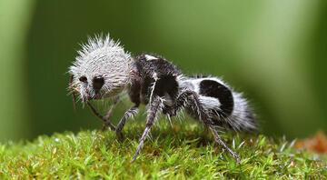 İlginç bir tür: Panda Karınca