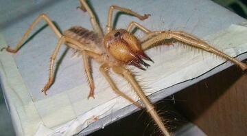 Türkiyede yaşayan ilginç bir tür: Sarı Ömer örümceği