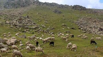 Her yıl binlerce koyunla bölge akın ediyorlar