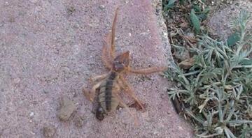 Kayseride sarıkız cinsi örümcek tedirginliği