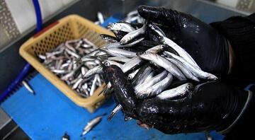 Karadenizde hamsi avı 10 gün yasaklandı