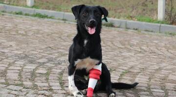 3D yazıcıyla protez bacak takılan köpek, sahiplendirilmeyi bekliyor