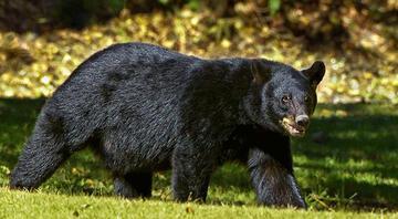 ABDde akılalmaz olay: Köpek gezdiren kadını ayı yedi
