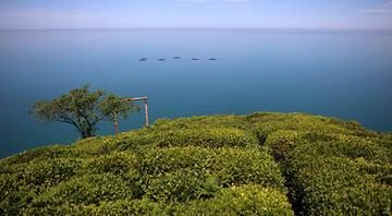 Doğu Karadenizde çay bahçelerinde yeşilin farklı tonları