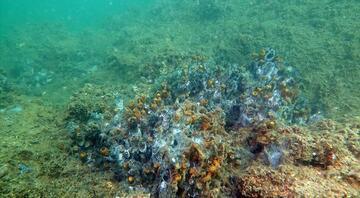 Müsilaj (deniz salyası) nedir, neden olur İşte müsilaj tehlikesinde son durum...