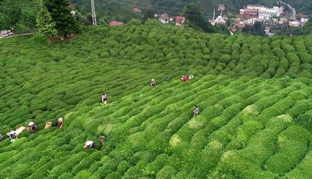 Çaykur çay alım kapasitesini artırıyor