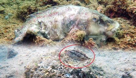 Müsilaj ekolojisi: Ot balığına mezar, Çırçır balığına yuva oldu