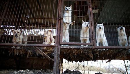 Yıllar süren vahşet sona eriyor: Güney Kore'de köpek eti tüketimi yasaklanacak!