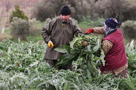 İzmir'de enginar hasadı başladı! Üreticilerin yüzü gülüyor