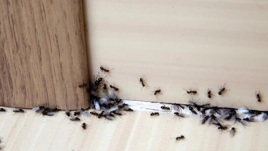 Evde karınca nasıl yok edilir? Karıncalara zarar vermeden evden uzak tutmanın yolları