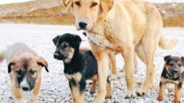 Sokaktaki köpek sayısı 2 ilin nüfusunu solladı
