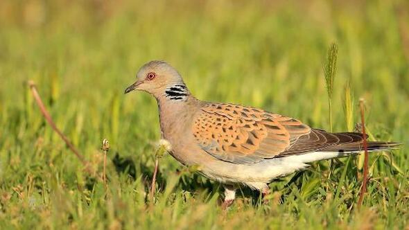 Zonguldak Haberleri - Nesli tükenen 2 kuş türüne av izni ...