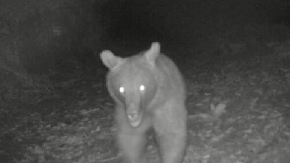 Sinopta fotokapan ayı görüntüledi
