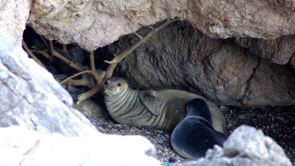 Bakan Eroğlu: Akdeniz foku neslinin devamı için yaşam alanları mutlaka korunmalı