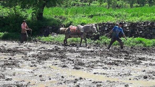 Çukurcada karasabanlı pirinç üretimi
