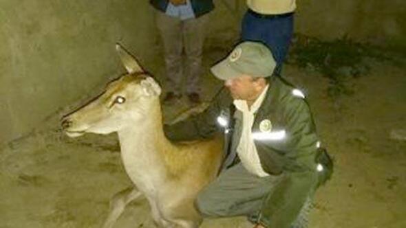 Yaralı geyik tedavi altına alındı