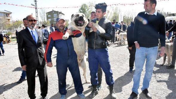 Sivasta Kangal köpekleri yarıştırıldı