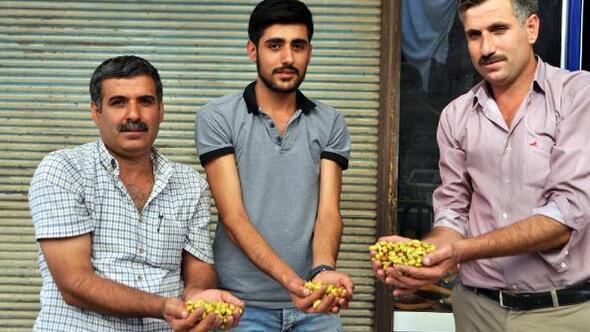 Çermikten Gaziantepe fıstık gönderiyorlar