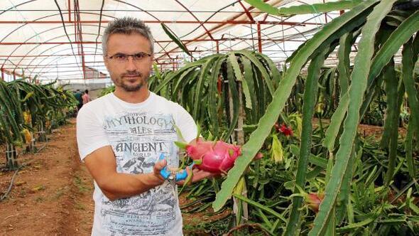 Serada üretilen ejder meyveleri 15 liraya kadar alıcı buluyor