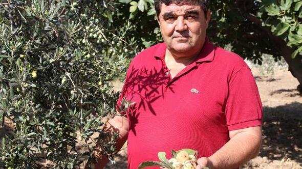 Zeytin sineğine karşı incir ağacı önerisi