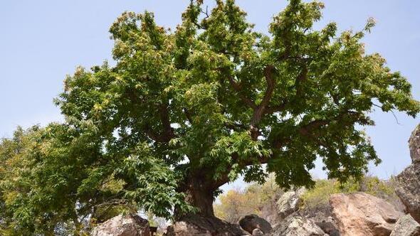 Niğde'de 500 yıllık kestane ağacı koruma altına alındı
