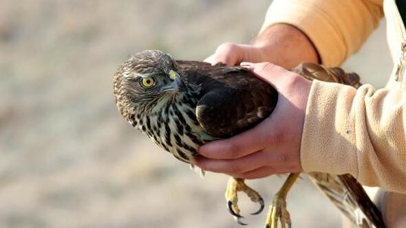 Tedavi edilen kara akbaba ve çakır kuşu doğaya salındı