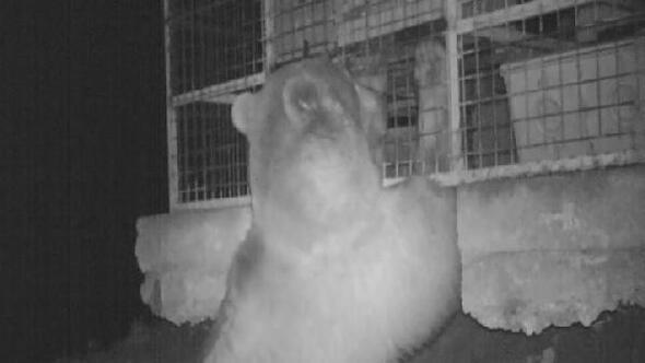 Doğu Karadenizde ayı popülasyonu arttı, bölgehalkı tedirgin