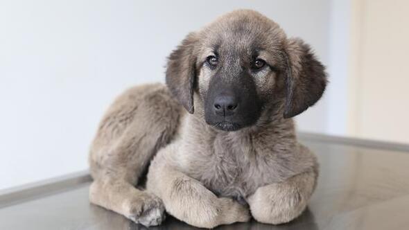 Yavru köpeğin bağırsağından vida ve tel çıktı