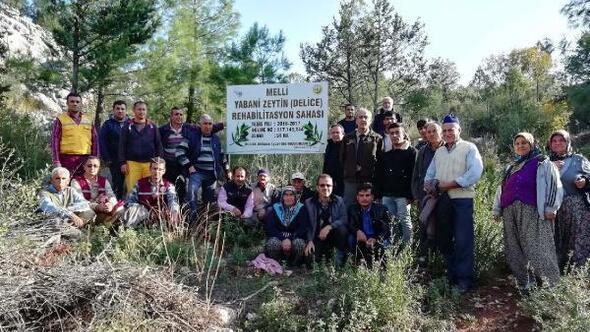 Aşılı zeytin sahaları köylülere dağıtıldı