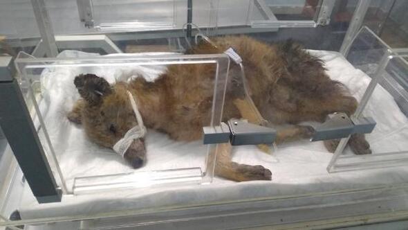 Bitkin bulunan yaşlı ve hasta tilki kurtarılamadı