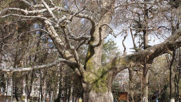 419 yıllık anıt çınar ağacı, Develinin sembolü oldu
