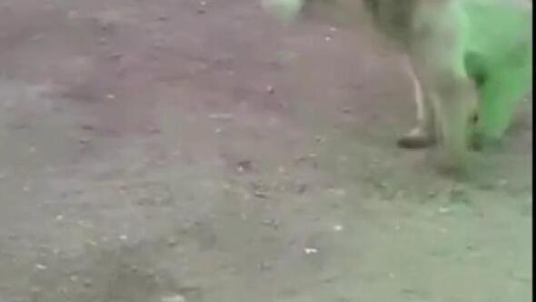 Şantiyeye inen ayı, bekçinin attığı topla oynadı