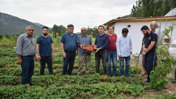 Reşadiyede çilek bahçeleri ilk meyvelerini verdi