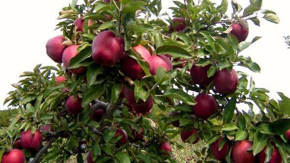 Niğdede erkenci elma hasadı başladı
