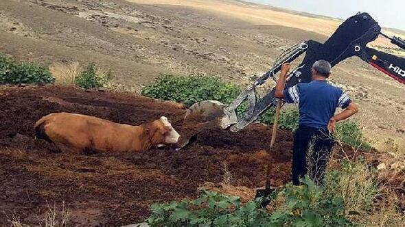 Bataklıkta mahsur kalan inek kurtarıldı