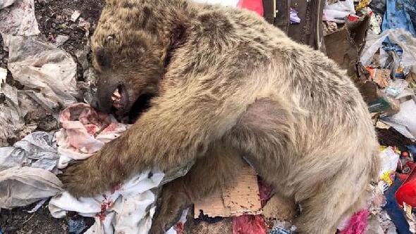 Ardahanda boz ayı öldürüldü