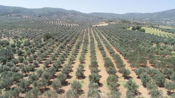 Saruhanlılı zeytin üreticisinin düşük rekolte sıkıntısı